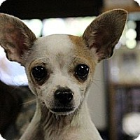 Adopt A Pet :: Elly - South Amboy, NJ
