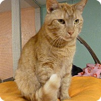 American Shorthair Cat for adoption in Westville, Indiana - Bradley