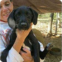 Adopt A Pet :: Sharlotte - Lincolndale, NY