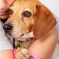 Photo 1 - Beagle Mix Dog for adoption in Phoenix, Arizona - Amy Lynn