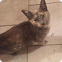 Domestic Shorthair Kitten for adoption in Tomball, Texas - Elli Mac
