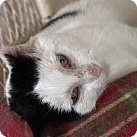 Domestic Shorthair Cat for adoption in St. Louis, Missouri - Duke Ellington