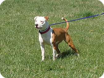 Pit Bull Terrier Mix Dog for adoption in Cameron, Missouri - Pippa