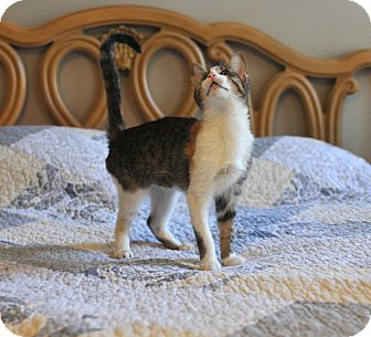 Domestic Shorthair Kitten for adoption in Manchester, Vermont - Mely 1 Eyed