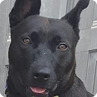 German Shepherd Dog Mix Dog for adoption in Bloomington, Illinois - Bing