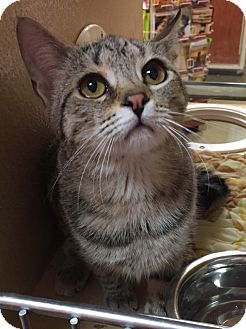 Domestic Shorthair Kitten for adoption in Morganton, North Carolina - Italia