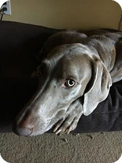 Weimaraner Dog for adoption in Sarasota, Florida - Reina