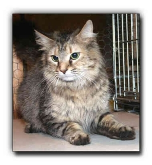 Maine Coon Cat for adoption in Howell, Michigan - Cleo