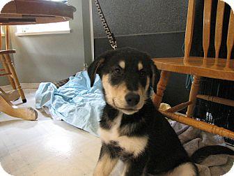 Shepherd (Unknown Type)/Golden Retriever Mix Puppy for adoption in Surrey, British Columbia - George