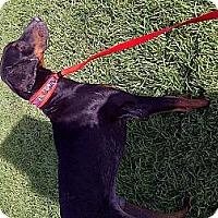 Adopt A Pet :: Probie - Kingwood, TX