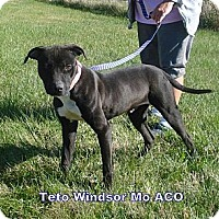 Adopt A Pet :: Teto - Windsor, MO