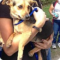 Adopt A Pet :: Sofia - Ft. Lauderdale, FL