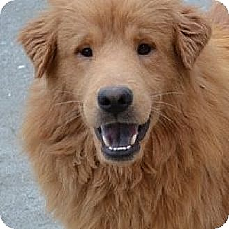 Rochester Ny Golden Retriever Mix Meet Wilson A Dog For Adoption