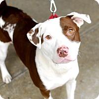 Adopt A Pet :: McKinley-Adopted! - Detroit, MI