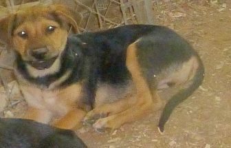 German Shepherd Dog Mix Puppy for adoption in Katy, Texas - Bailey