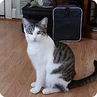 Domestic Shorthair Cat for adoption in Huntsville, Alabama - Avon