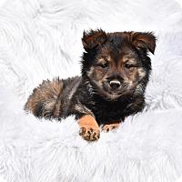 Adopt A Pet :: Shyenne - Groton, MA
