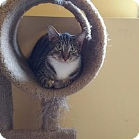 Domestic Shorthair Cat for adoption in Minneapolis, Minnesota - Leon