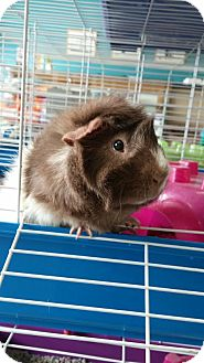 Guinea Pig for adoption in La Grange Park, Illinois - Dave