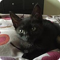 Domestic Shorthair Kitten for adoption in Orlando, Florida - Nixie