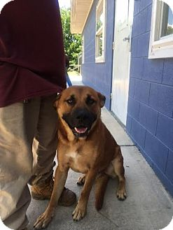Black Mouth Cur/Labrador Retriever Mix Dog for adoption in Manhasset, New York - Hank