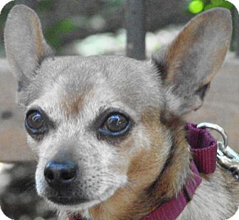 Chihuahua Dog for adoption in St Louis, Missouri - Jerry