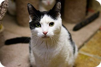 Domestic Shorthair Cat for adoption in New York, New York - Olive