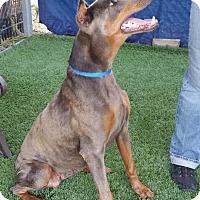 Adopt A Pet :: SKY - Gustine, CA