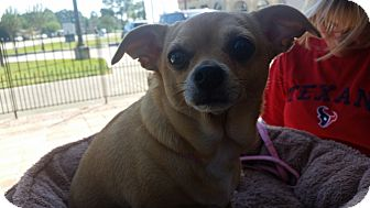 Chihuahua Mix Dog for adoption in Houston, Texas - Sara Lee