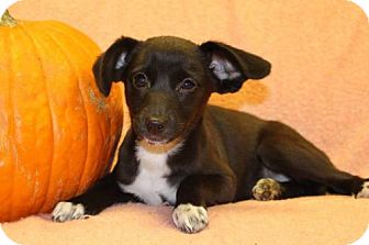 Chihuahua Mix Puppy for adoption in Modesto, California - Barbie