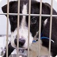 Adopt A Pet :: Tommy - Leesburg, VA