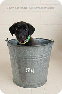 Labrador Retriever Mix Puppy for adoption in Denver, Colorado - Sig