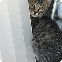 Domestic Shorthair Kitten for adoption in Prince George, Virginia - Meanie