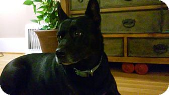 Labrador Retriever/Cattle Dog Mix Dog for adoption in Bellingham, Washington - Karly