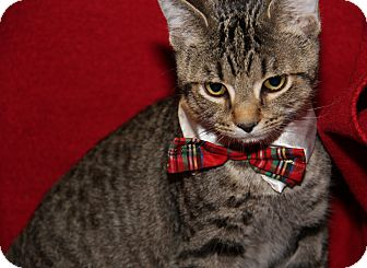 Domestic Shorthair Cat for adoption in Marietta, Ohio - Franklin (Neutered)