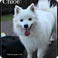 Adopt A Pet :: Chloe - Elmhurst, IL