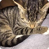 Domestic Shorthair Kitten for adoption in Staten Island, New York - Sofi