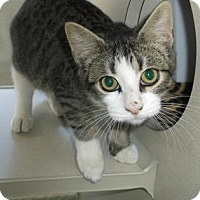 Domestic Shorthair Kitten for adoption in Gloucester, Virginia - BUGSY