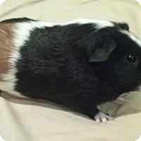 Adopt A Pet :: Peanut - Williston, FL