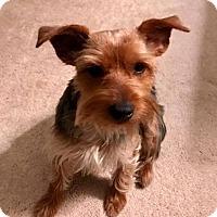 Adopt A Pet :: Spencer - North Richland Hills, TX