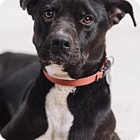 Adopt A Pet :: Tilly - Portland, OR