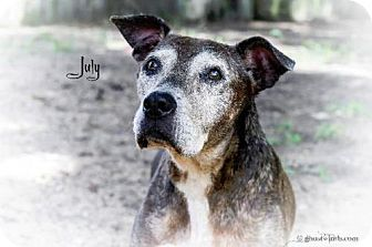 American Staffordshire Terrier/Pit Bull Terrier Mix Dog for adoption in Leesburg, Florida - July