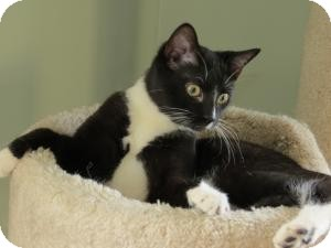 Domestic Shorthair Cat for adoption in Raritan, New Jersey - Serena
