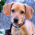 Adopt A Pet :: Maui Pup