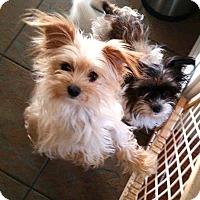 Adopt A Pet :: *Sophie & Sonny - PENDING - Westport, CT