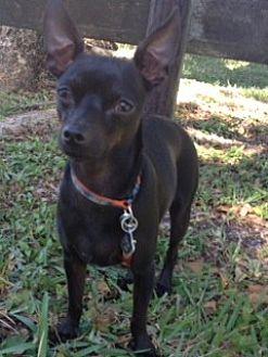 Chihuahua/Rat Terrier Mix Dog for adoption in Davie, Florida - Emilio