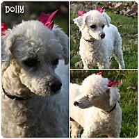 Adopt A Pet :: Dolly - Cranford, NJ