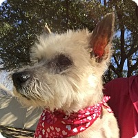 Yorkie, Yorkshire Terrier Mix Dog for adoption in Plano, Texas - Ringo