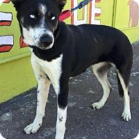 Adopt A Pet :: Black Ice - Phoenix, AZ