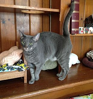 Domestic Shorthair Cat for adoption in Middletown, New York - Pinky